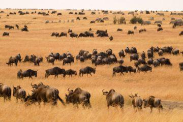 Masaimara Safari