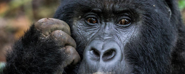 Gorilla special Trekking
